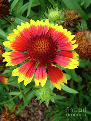Photograph - Indian Blanket Flower by Sue Melvin