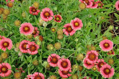 Photograph - Indian Blanket Flowers by Bradford Martin