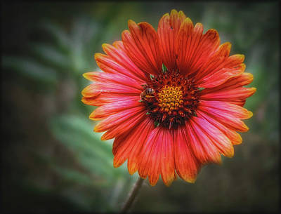 Photograph - Indian Blanket Flowers by Elaine Malott