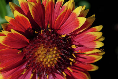 Photograph - Indian Blanket by Jill Smith