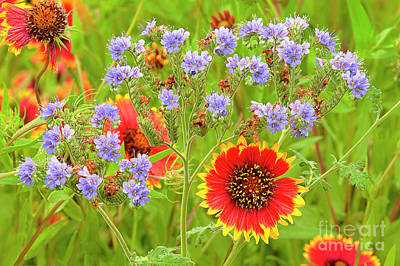 Photograph - Indian Blanketflowers Gaillardia Puchella by Dave Welling