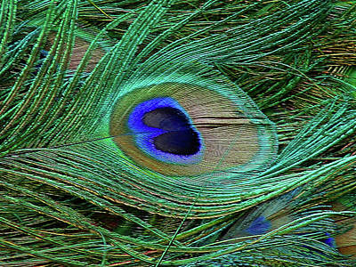 Photograph - Indian Blue Peacock Macro by Blair Wainman
