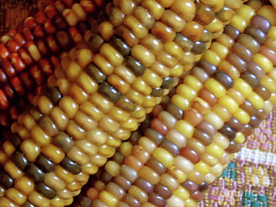 Photograph - Indian Corn Colors by D Hackett