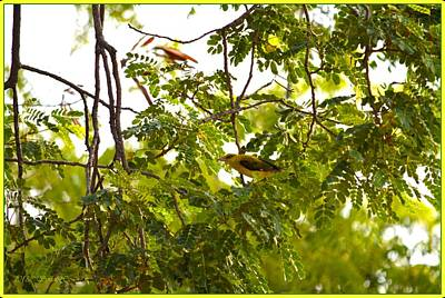 Photograph - Indian Golden Oriole by Sonali Gangane