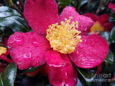 Photograph - Indian Hawthorn In The Rain by Maria Urso