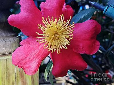 Photograph - Indian Hawthorne by Maria Urso