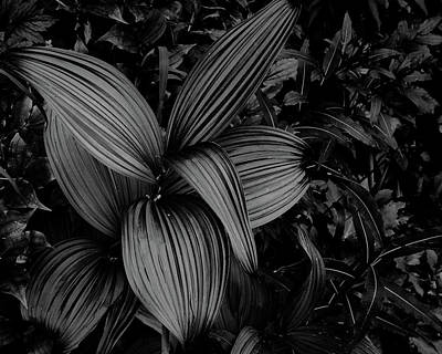 Photograph - Indian Hellebore 1 by Trever Miller