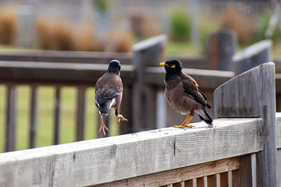 Common Myna Photograph - Indian Myna Birds by Emma Grimberg