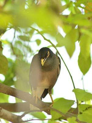 Common Myna Photograph - Common Myna Tough Looks by Rahul Sandanshiv