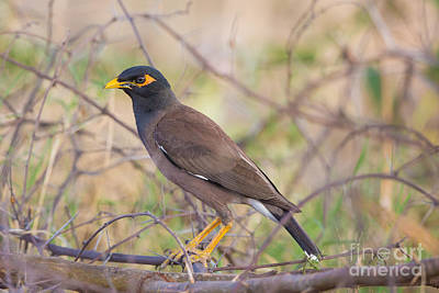 Common Myna Photograph - Indian Or Common Mynah by B. G. Thomson