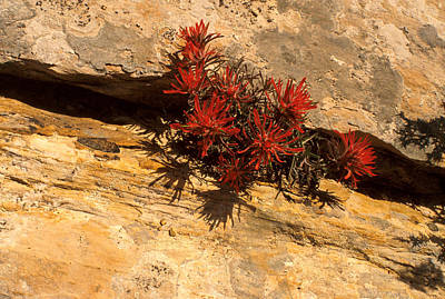 Flower Photograph - Indian Paint Brush by Jerry McElroy