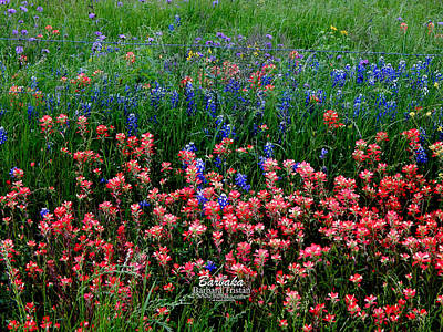 Indian Paintbrush #0486 Art Print
