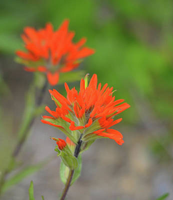 Featured Tapestry Designs - Indian Paintbrush 4 by Whispering Peaks Photography