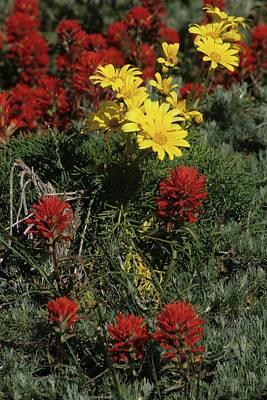 Indian Paintbrush And Sea Dahlia Blooming Art Print