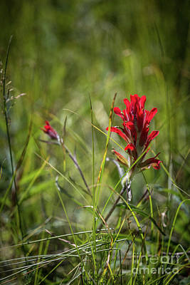 Photograph - Indian Paintbrush by Franz Zarda