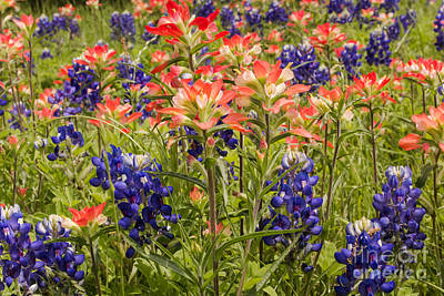 Photograph - Indian Paintbrush In Bluebonnets by Robert Frederick