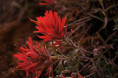 Photograph - Indian Paintbrush In Sandstone Crack by Frank Madia