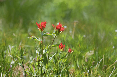 Photograph - Indian Paintbrush Painterly by Belinda Greb