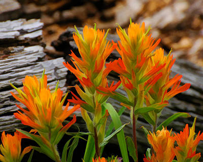 Photograph - Indian Paintbrush Wild Flowers by Ginger Wakem