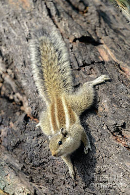 Photograph - Indian Palm Squirrel 01 by Werner Padarin