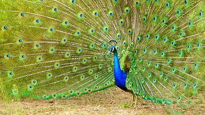 Photograph - Indian Peacock by Dan Miller