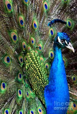 Winter Animals Rights Managed Images - Indian Peacock II Royalty-Free Image by Lilliana Mendez