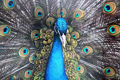 Photograph - Indian Peacock by Nancy  Coelho
