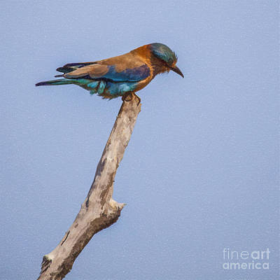 Digital Art - Indian Roller Coracias Benghalensis by Liz Leyden