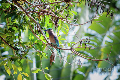 Photograph - Indian Roller by Michelle Meenawong