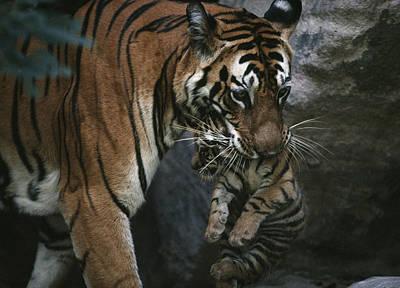 Indian Tigress, Sita, Moves Her Cubs Art Print by Michael Nichols