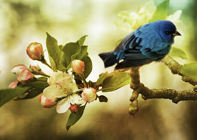 Photograph - Indigo Bunting And Apple Blossoms by TnBackroadsPhotos