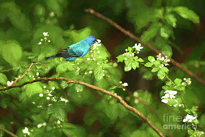 Photograph - Indigo Bunting And Black Berry Blooms by Darren Fisher