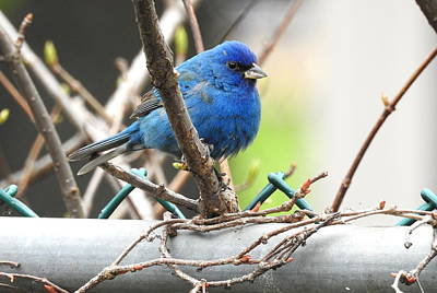 Photograph - Indigo Bunting by Betty-Anne McDonald