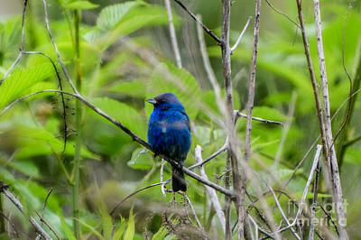 Photograph - Indigo Bunting Blue Bird by Peggy Franz