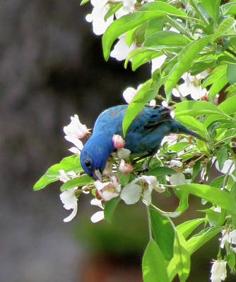 Photograph - Indigo Bunting Feeding by MTBobbins Photography