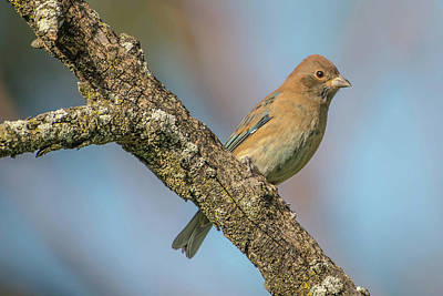 Photograph - Indigo Bunting Male by Bruce Pritchett