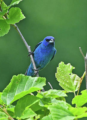 Photograph - Indigo Bunting by Ken Stampfer