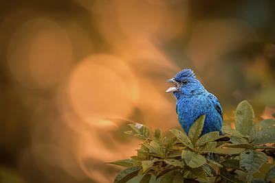 Photograph - Indigo Bunting Sings by Jessica Nelson