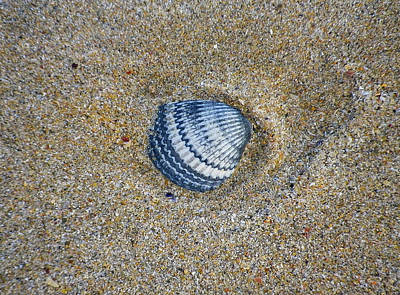 Photograph - Indigo Cockle Shell On Sand by Richard Brookes