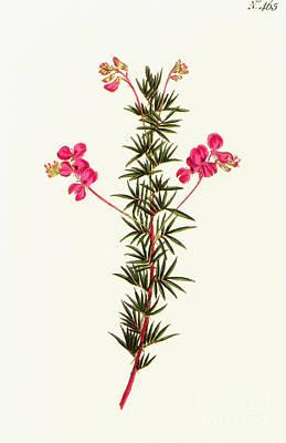Photograph - Indigo Plant by Granger