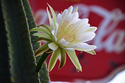 Photograph - Individual Night Blooming Cereus Flower by rd Erickson