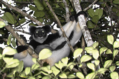 Photograph - Indri Indri by Michele Burgess