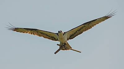 Photograph - Industrious Osprey by Loree Johnson