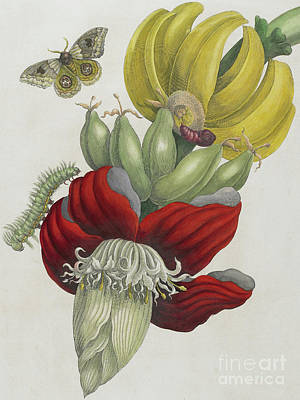 Banana Painting - Inflorescence Of Banana, 1705 by Maria Sibylla Graff Merian
