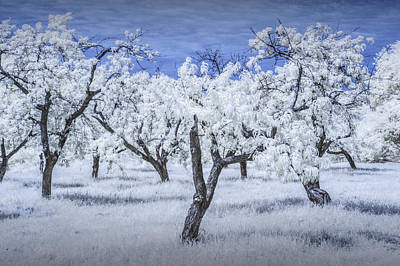 Photograph - Infrared  Photograph Of A Cherry Orchard by Randall Nyhof