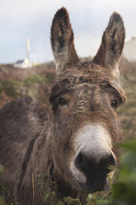 Attention Photograph - Inishmore Island Adorable Donkey by Betsy Knapp
