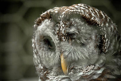 Photograph - Injured Owl by Travis Rogers