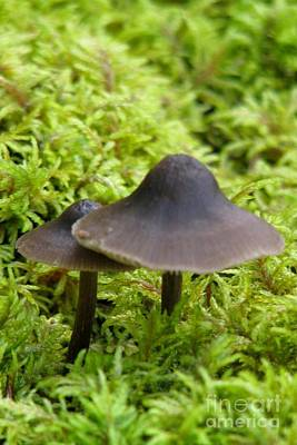 Photograph - Ink Cap by Frank Townsley