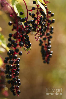 Photograph - Inkberry by Linda Shafer