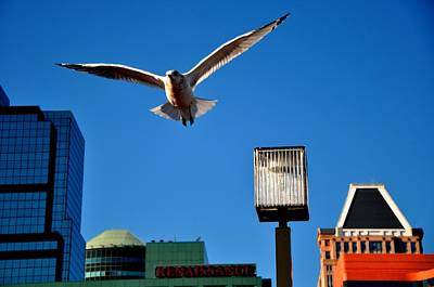 Photograph - Inner Harbor Flying Seagull by Andrew Dinh